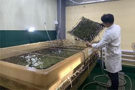 아열대해조류 '옥덩굴' 양식방법 개발 성공
